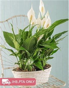 flowers: 2 Spathiphyllum Plants in a Basket!