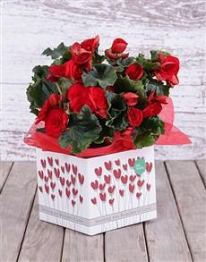 plants: Begonia Love Box!