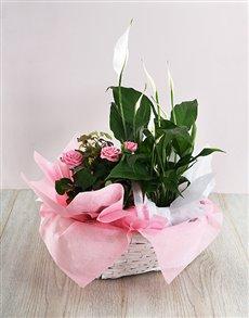 flowers: Basket of Spathiphyllum and Rose Bush!
