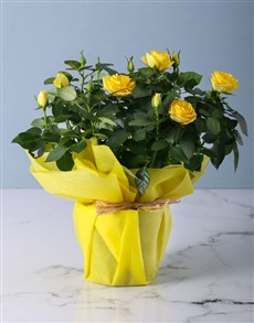 gifts: Yellow Rose Bush in Wrapping!