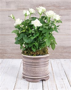 plants: White Rose Bush in Ceramic Pot!