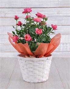 flowers: Orange Rose Bush in Planter!