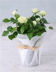 flowers: White Rose Bush in Wrapping!