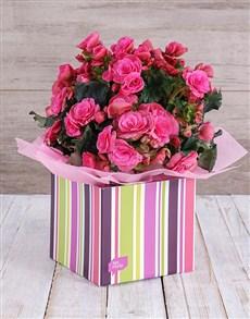 plants: Pink Begonia Box!