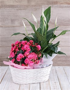 plants: Begonia and Spathiphyllum Basket!