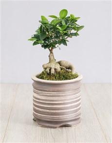 plants: Ficus Bonsai Tree in Ceramic Pot!