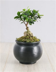 plants: Ficus Bonsai Tree in Black Pottery!