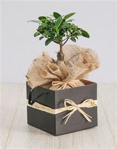 plants: Ficus Bonsai Tree in Box!