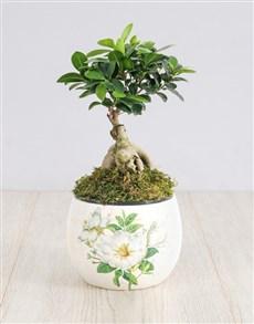 plants: Ficus Bonsai Tree in White Flower Pot!