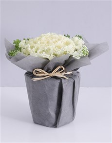plants: White Kale Plant in Wrapping!