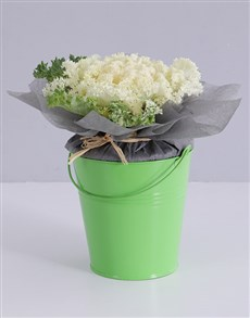 plants: White Kale Plant in Bucket!