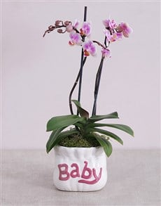 gifts: Midi Phalaenopsis Orchid in Pink Baby Vase!