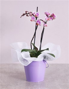 flowers: Midi Phalaenopsis Orchid in Purple Bucket!