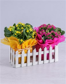 flowers: Cerise and Yellow Kalanchoe Plants in Fence!