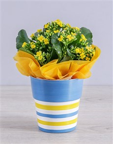 flowers: Yellow Kalanchoe Plant in Striped Ceramic Pot!