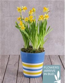 flowers: Daffodil Plant in Striped Ceramic Pot!