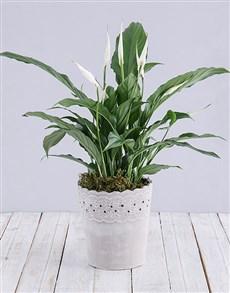 plants: Spathiphyllum in Cement Pot!