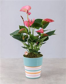 flowers: Pink Anthurium in Striped Pot!