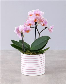 plants: Midi Pink Orchid in Pink and White Striped Vase!