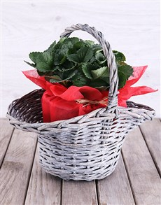 flowers: Strawberry Plant in Red Tissue Paper Basket!
