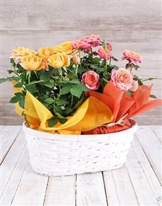 flowers: Double Mixed Rose Bush Delight!