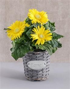 flowers: Mini Gerbera Plant in Flower Basket!