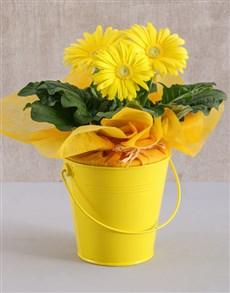 gifts: Yellow Mini Gerbera Plant Bucket!