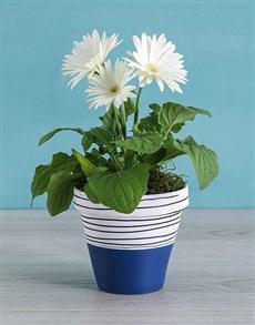 flowers: Mini Gerbera Plant in Blue Striped Pot!