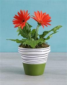 gifts: Mini Gerbera Plant in Olive Striped Pot!