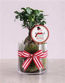 flowers: Ficus Bonsai Tree in Christmas Cylinder Vase!
