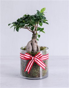 flowers: Ficus Bonsai Tree in Red Ribbon Cylinder Vase!