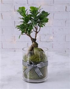 plants: Ficus Bonsai Tree in Black Ribbon Cylinder Vase!