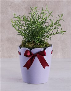 gifts: Rosemary Plant in Ceramic Pot!