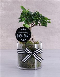 gifts: Bosses Day Ficus Bonsai Tree !