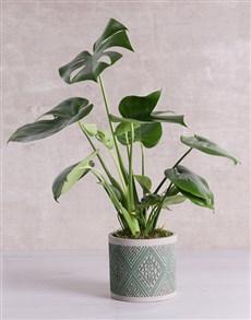 plants: Monstera Plant in Green Patterned Vase!