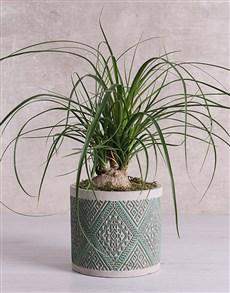gifts: Beaucarnea in Green Patterned Vase!