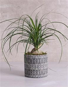 plants: Beaucarnea in Black Patterned Vase!