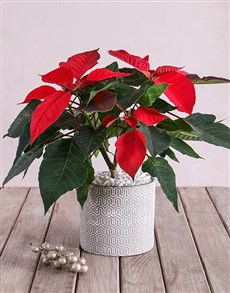 flowers: Poinsettia in Cement pot with White Detail!