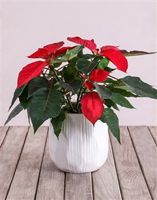 flowers: Red Poinsettia Plant in White Ripple Pot!