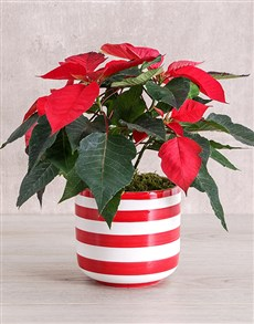 flowers: Red Poinsettia Plant in Striped Pot!