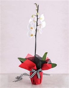 gifts: White Phalaenopsis Orchid Romance!