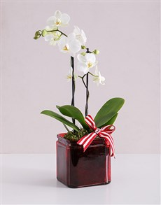 gifts: Midi White Phalaenopsis Orchid Vase!