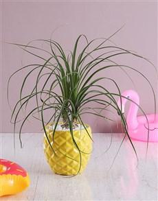 plants: Pineapple Pony Tail Palm!