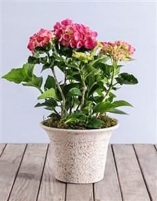 flowers: Pink Hydrangea in Rockstone Pot!