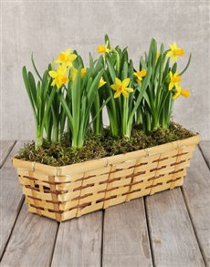 flowers: Daffodils in a Basket!