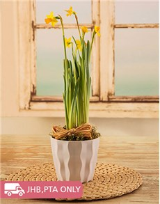 flowers: Daffodil in White Pot!