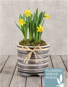 gifts: Daffodil Plant in Round Ceramic Pot!