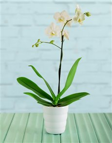 flowers: Tiny Dancer Orchid Gift!