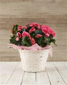 flowers: Begonia Basket!