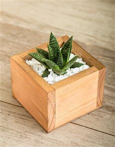 flowers: Dainty Succulent Plant!